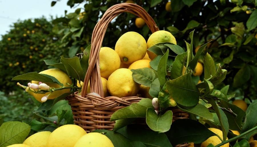 Limoni: valori nutrizionali e proprietà benefiche